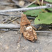 Gafanhoto // Grasshopper (Ocnerodes fallaciosus), male