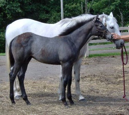 grey thoroughbred mare from halo line mare has produced