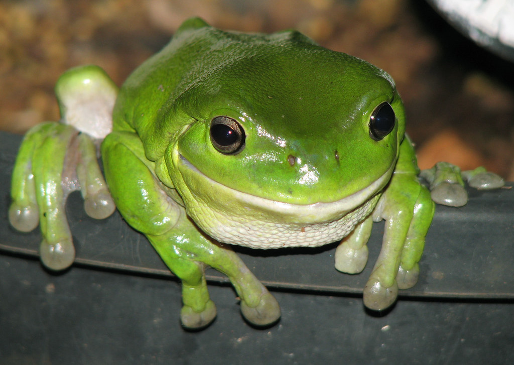 Image Result For Chubby Frog Care