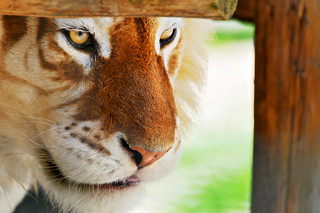 Framed golden tiger | by Tambako the Jaguar