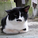 A cat with a Charlie Chaplain mustache at the Shinto shrine