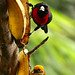Crimson-collared and Silver-throated Tanagers