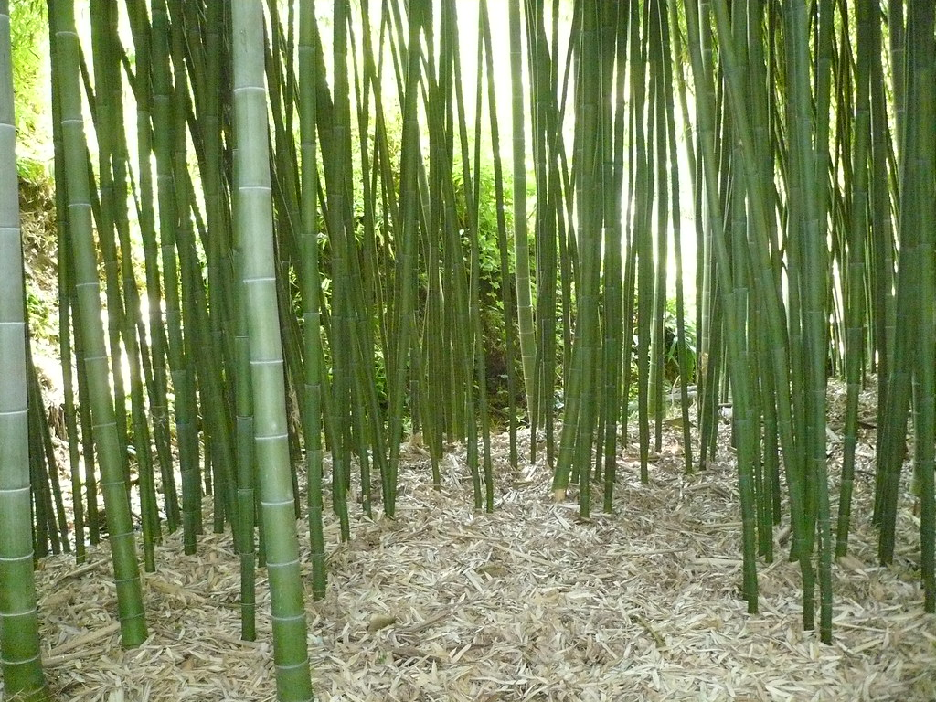 moso bamboo grove grove of moso bamboo or giant chinese