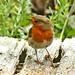 European Robin ( Erithacus rubecula) in my garden
