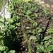garden-spinach_300