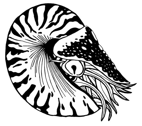 Chambered Nautilus Drawing Chambered-nautilus | by