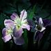 Hunting Island Iris