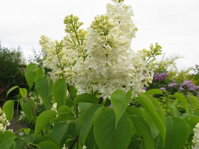 syringa vulgaris 39 primrose 39 lilac kingsbrae garden flickr. Black Bedroom Furniture Sets. Home Design Ideas