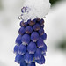 Snow Crowned Grape Hyacinth