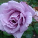lilac rose in the rain