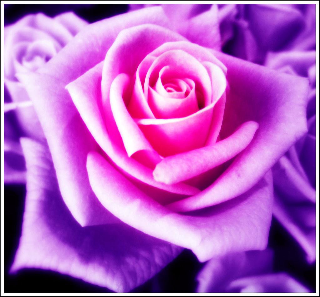 Moonlight Rose Jannapham Flickr
