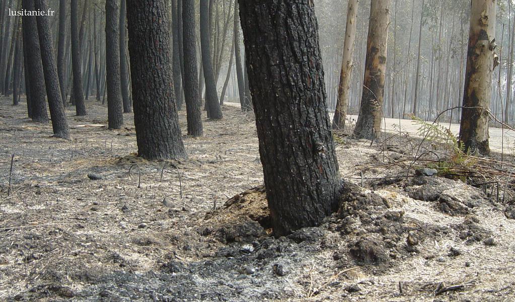 Arbres calcinés entourés de cendres