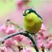 #384 黃山櫻背 (Naughty Bird)