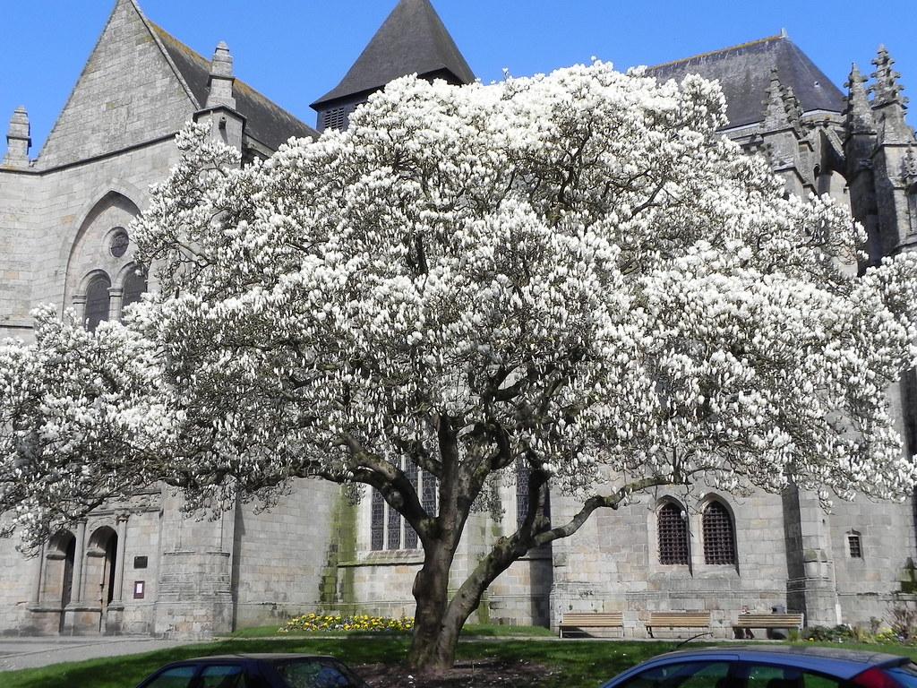 all sizes springtime magnolia dinan france flickr photo sharing. Black Bedroom Furniture Sets. Home Design Ideas