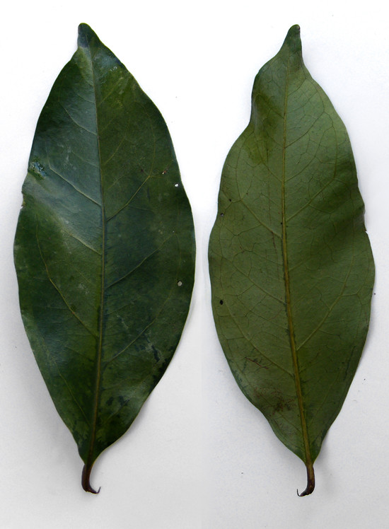 Daun Salam | Indonesian bay leaf. Not very common outside