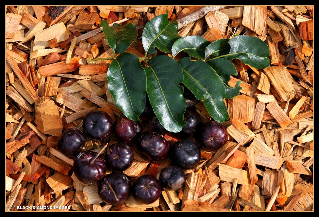Burdekin Plum Timorense-burdekin Plum