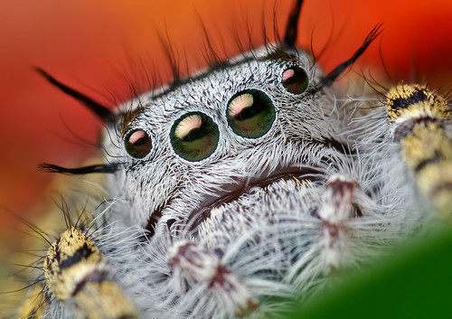 Adult Female Phidippus mystaceus Jumping Spider | by Thomas Shahan