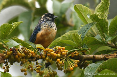 Spangle-cheeked Tanager | by Michael Woodruff