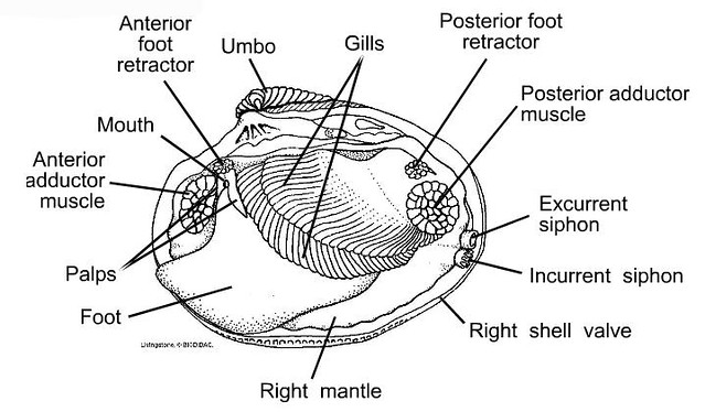 clam anatomy101