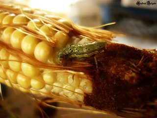 Gusano del Maiz / Corn Worm | by NeoGaboX