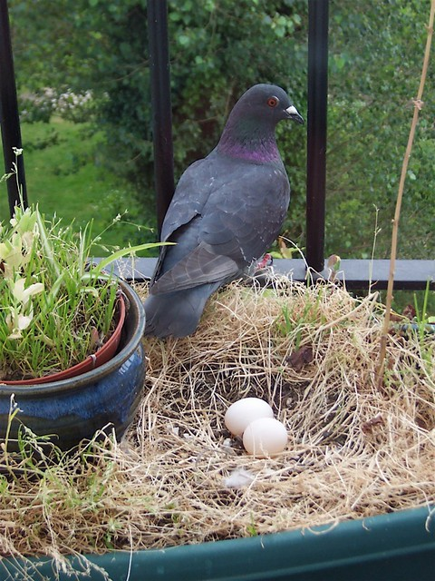 how to get rid of pigeon eggs on balcony