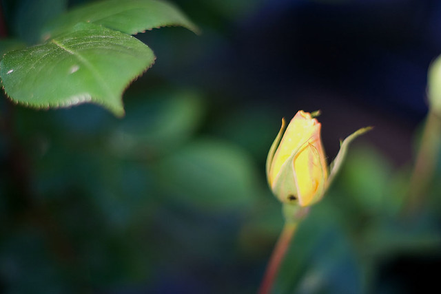 I Never Promised You a Rose Garden | IrishNYC | Flickr