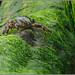 Cangrejo en el musgo