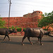 Water Buffaloes on Parade in Agra