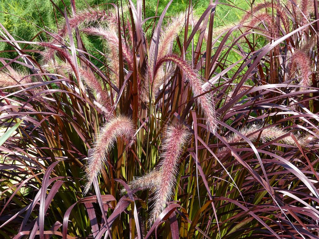 Pennisetum setaceum 39 rubrum 39 garden plant plantwire flickr for Decorative grasses full sun