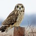 Short-eared Owl Posing By Jack Bird