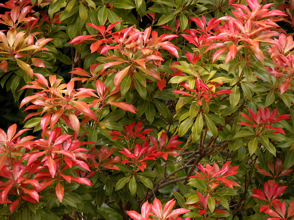 pieris japonica 39 mountain fire 39 carl lewis flickr. Black Bedroom Furniture Sets. Home Design Ideas