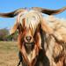 Goat with Fringe - Cabra con Flequillo en Punta Indio