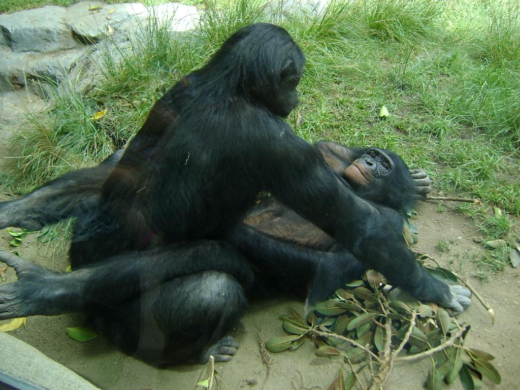 Секс с гориллой фото фото 10-582