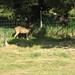 Hummi/Deer 3