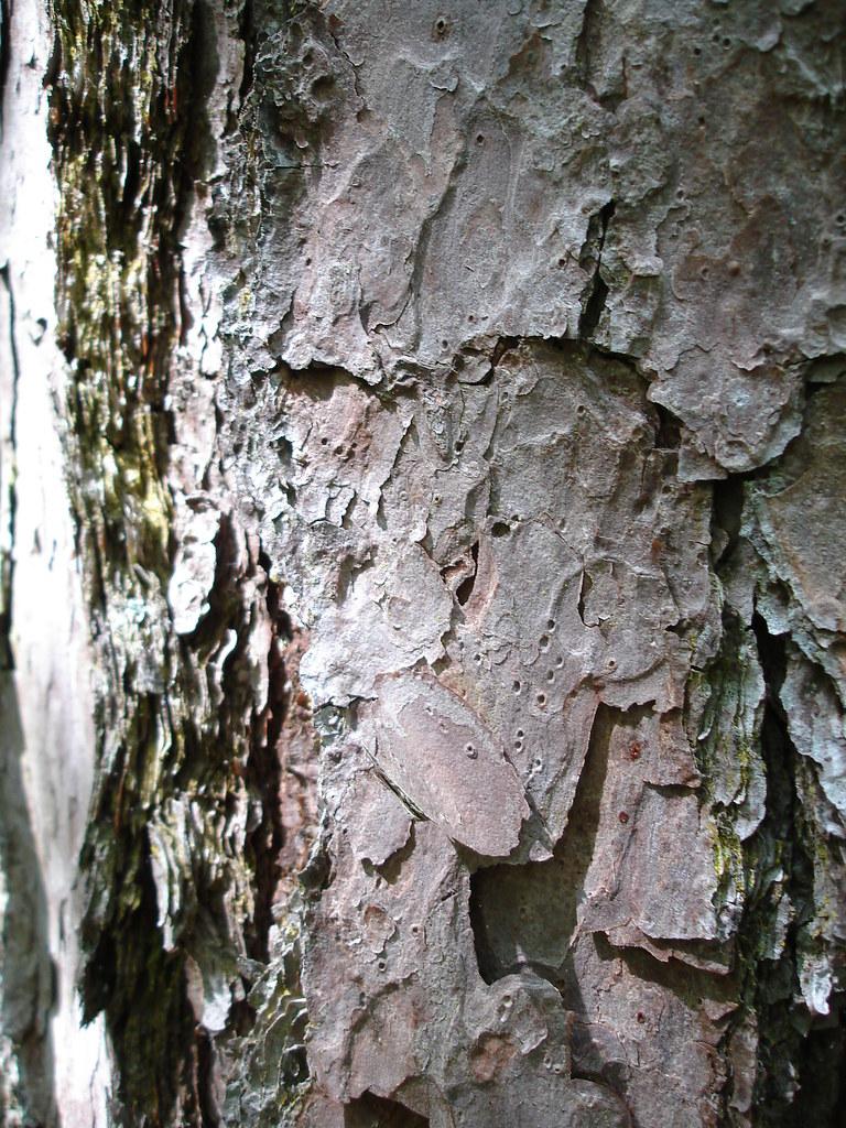 Shortleaf Pine Leaf Shortleaf Pine Bark With Resin