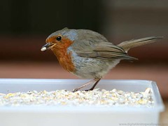 Bird - Robin Red Breast Eating Bird Seed | by Digital Wallpapers