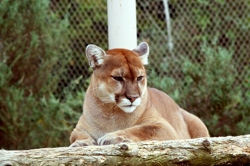 Cougar | by Jennifer Lynn Photos & Design