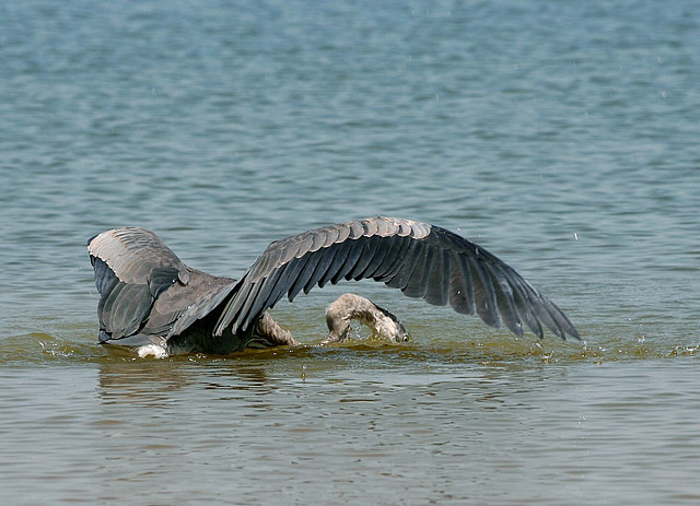 Great blue heron gone fishing yesterday i spotted for Eagle lake texas fishing