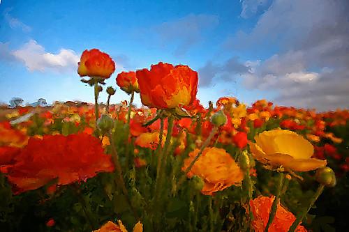 Carlsbad Flower Field Flickr Photo Sharing