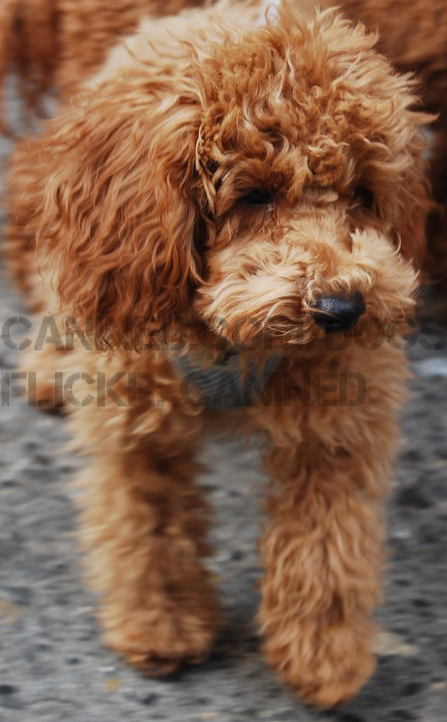 red toy poodles puppies for sale canined nyc groomed cute apricot toy red miniature poodl 4599