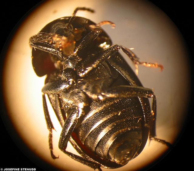 20050610 4 beetle belly gothenburg sweden collected by flickr