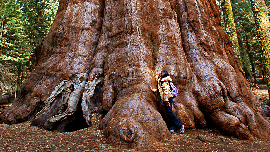 """The General Sherman"" The Worlds Largest Living Tree! loca ..."