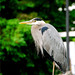 Great Blue Heron At A Pose