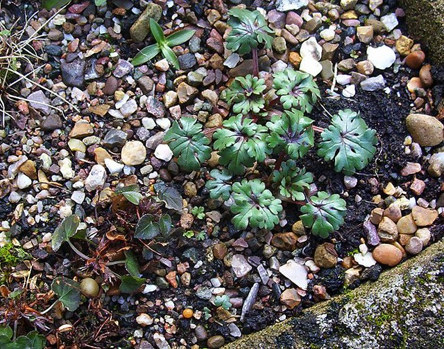 Ranunculus sp Cazorla