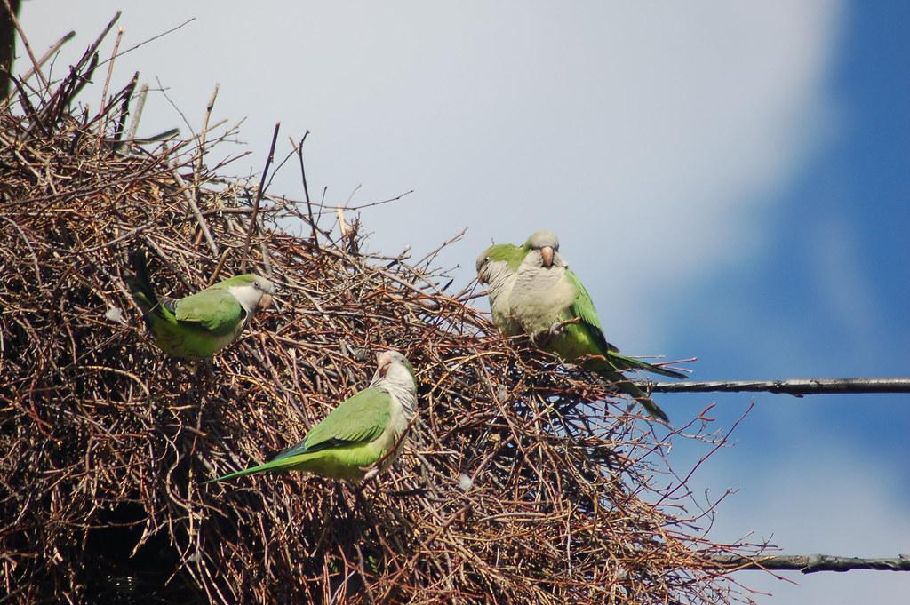 queens parrots4 wild parrots in whitestone queens photo flickr. Black Bedroom Furniture Sets. Home Design Ideas
