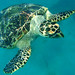 Hawksbill Turtle.. I think