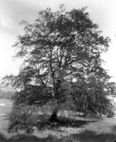 Copper Beech (Large Format Pinhole) | by sogesehen.