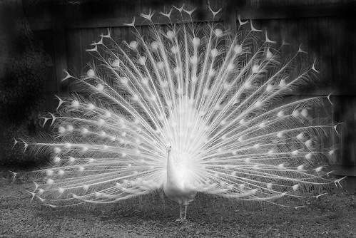 White Peacock in Black