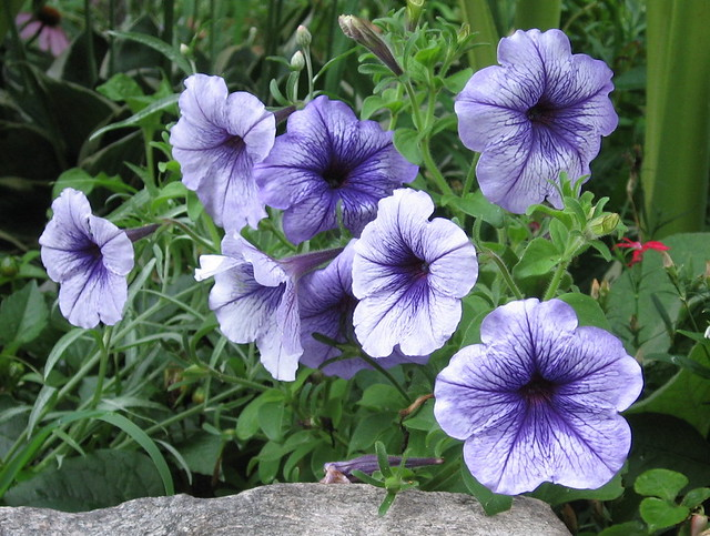 Common Garden Petunia Petunia X Hybrida Cv They