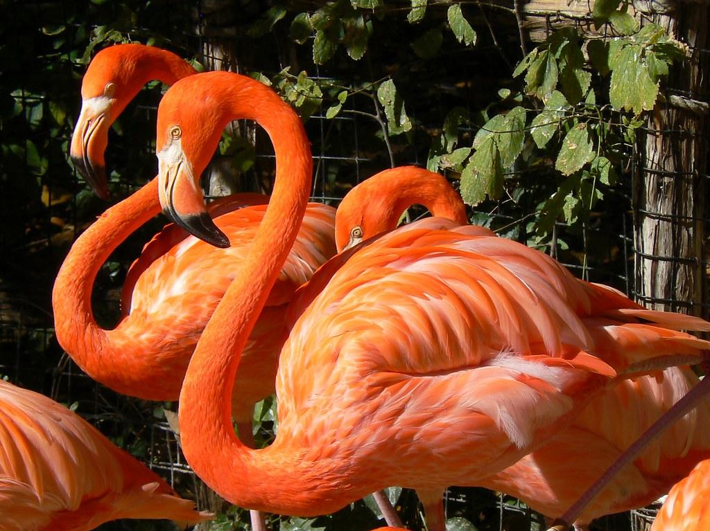 Ft Worth Zoo Flamingos Flamingos At The Ft Worth Zoo